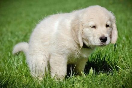 Puppy-Poo