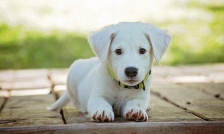 witte pup liggend op planken - farm food no1